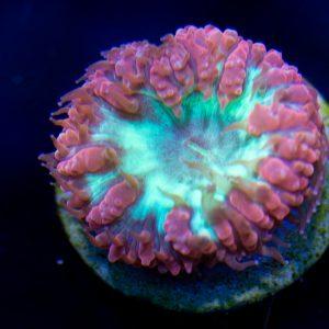 Blastomussa Wellsi Coral, Blastos