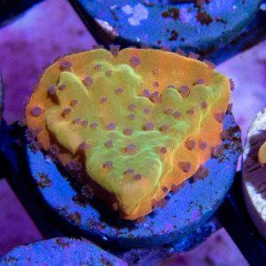ASD Rainbow Phoenix Montipora Coral, Monti Coral, SPS Coral