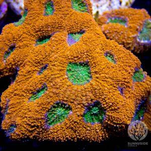 Pumpkin Patch Echinata Coral
