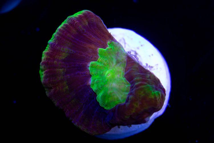 Dragon Soul Prism Favia Coral