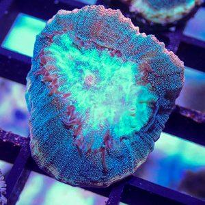 Reverse Prism Goniastrea Coral