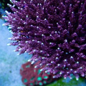 JF Fox Flame Acropora Coral, Acro Coral, SPS Coral