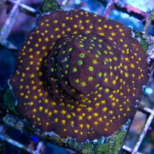 Jason Fox Outer Space Psammacora Coral, Sps Coral