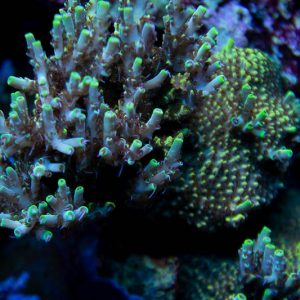 World Wide Coral Afterparty Coral, SPS Coral, Acro, Acropora Coral