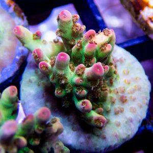Matt V Sangria sps coral