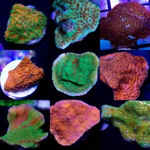 Montipora Coral, Sps montipora, Monti Coral