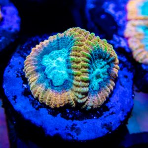 Reef Raft Beast Mode Favia Coral