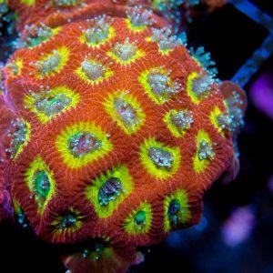 UC Flame Boy Favites Coral