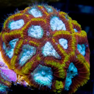 WWC Ultron Micromussa Coral
