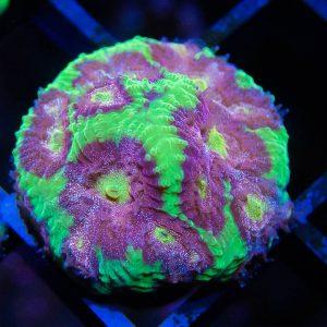 CB Tropic Thunder Favia Coral