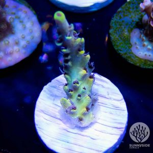 world wide corals after party, WWC afterparty sps acropora coral, acro