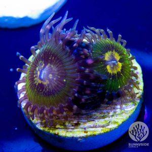 Buttkisser Zoanthid Corals, Zoas