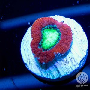 Japanese Watermelon micromussa Coral