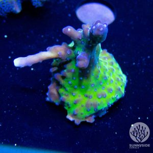 Keeperz spaghetti acropora sps coral