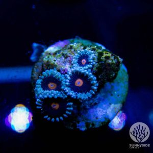 Mary Janes Zoanthids