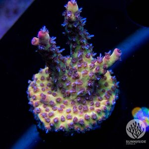 pink lemonade coral, Sps acropora coral, yellow and pink acro coral