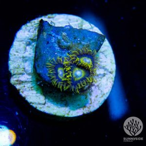 Purple Stinger Zoanthid Coral, Zoa
