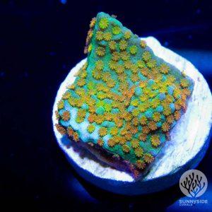 Rainbow Montipora coral