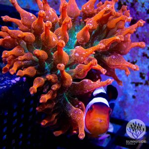 Rainbow Sunburst Anemone Coral