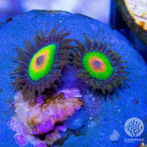 Rastas Zoanthid Coral, Zoas