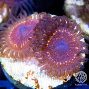Razzle Dazzle Zoanthid Coral, Zoas