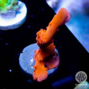 Setosa sps acropora coral