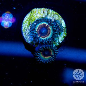 Sonic Flare Zoanthid Coral, Zoas