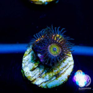 Sunny D Zoanthid Coral, Zoas