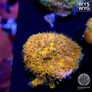 WWC C3P0 Lithophyllon