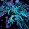 Turaki Acropora SPS Coral
