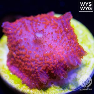 Discosoma carlgrenii - Red mushroom