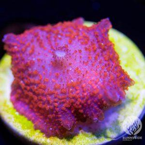 red Discosoma carlgrenii mushroom