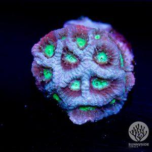 Dragon Favites lps coral
