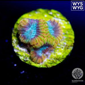 Reef Raft Beast Mode Favia