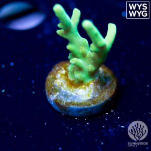 RMF Transistor coral