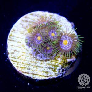 Blowpop zoanthid