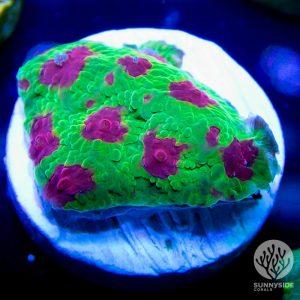 Cherry Corals Cranapple Favia