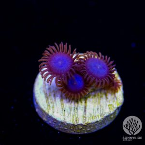 Icy blues zoanthid