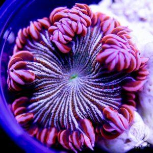 Ultra Zebra Rock Flower Anemone
