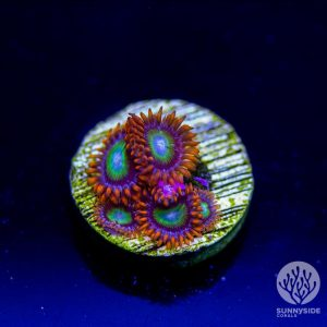 Circus Zoanthid