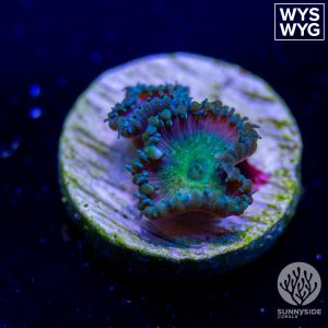 TGC Beauty and the Beast Zoanthid